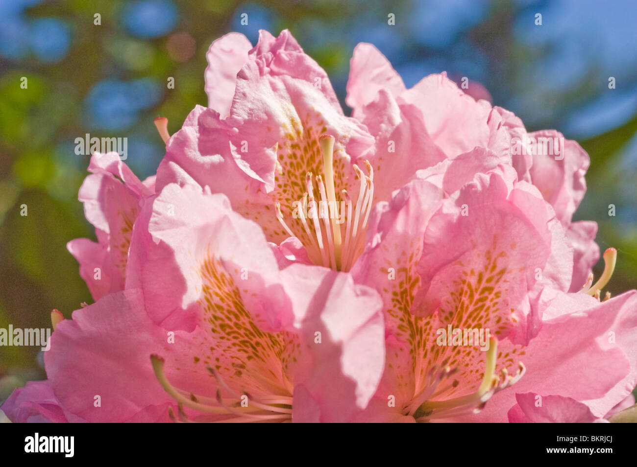 Pink flowers of rhododendron - Stock Image