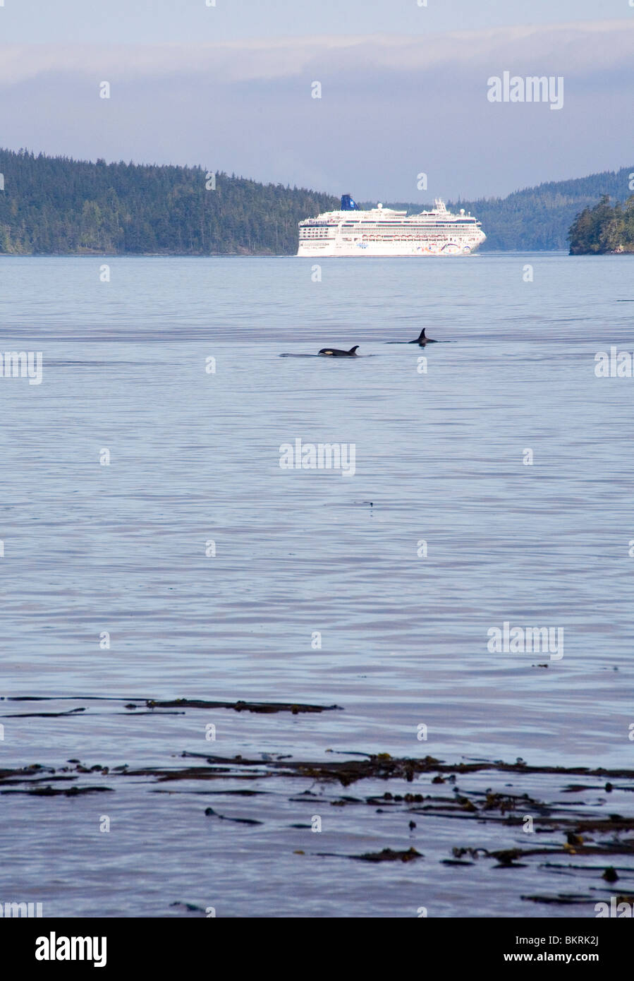 Orcas and cruise ship in Johnstone Strait - Stock Image