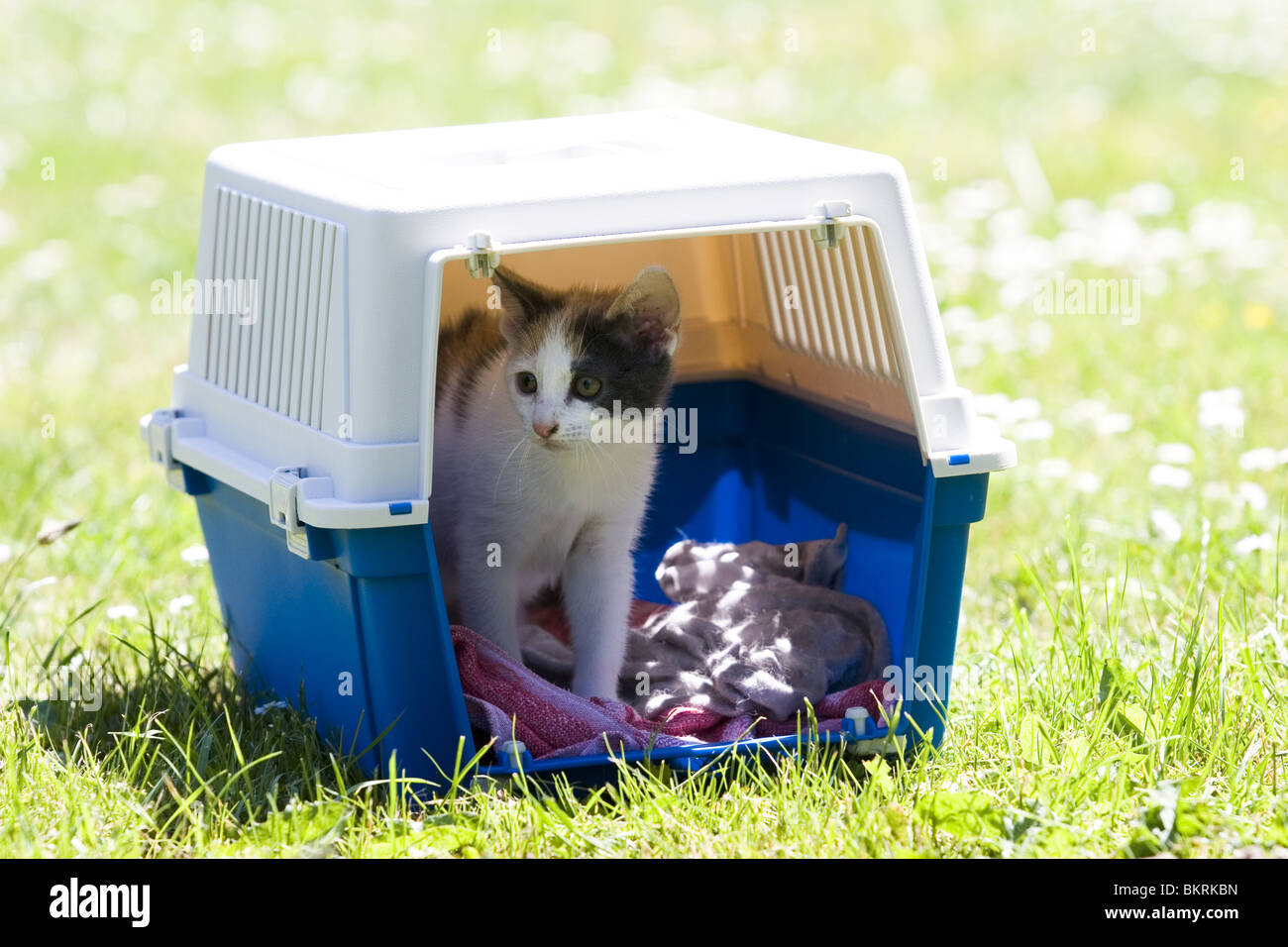Frightened kitten outside in pet box cat cage - Stock Image