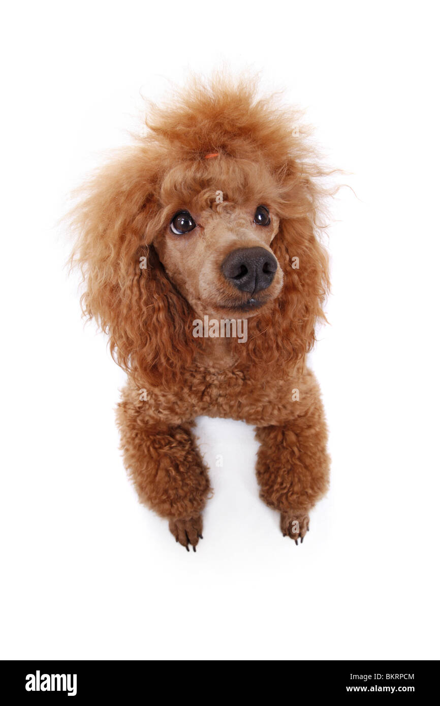 Pudel / poodle Stock Photo