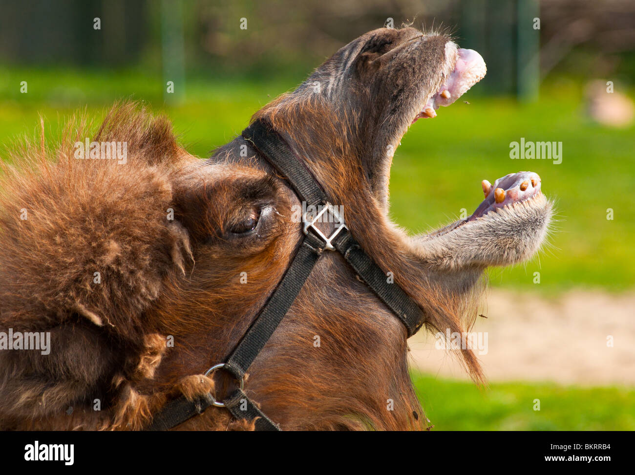 Bactrian Camel - Stock Image