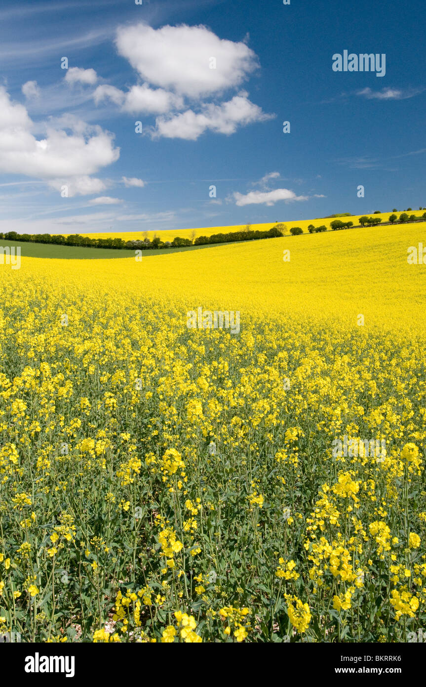 rapeseed oil growing in the South downs national park, Sussex, England - Stock Image