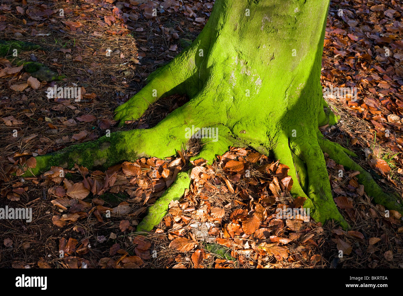 Tree and roots covered in green algae (Chlorophyte) in autumn on Cannock Chase an Area of Outstanding Natural Beauty - Stock Image