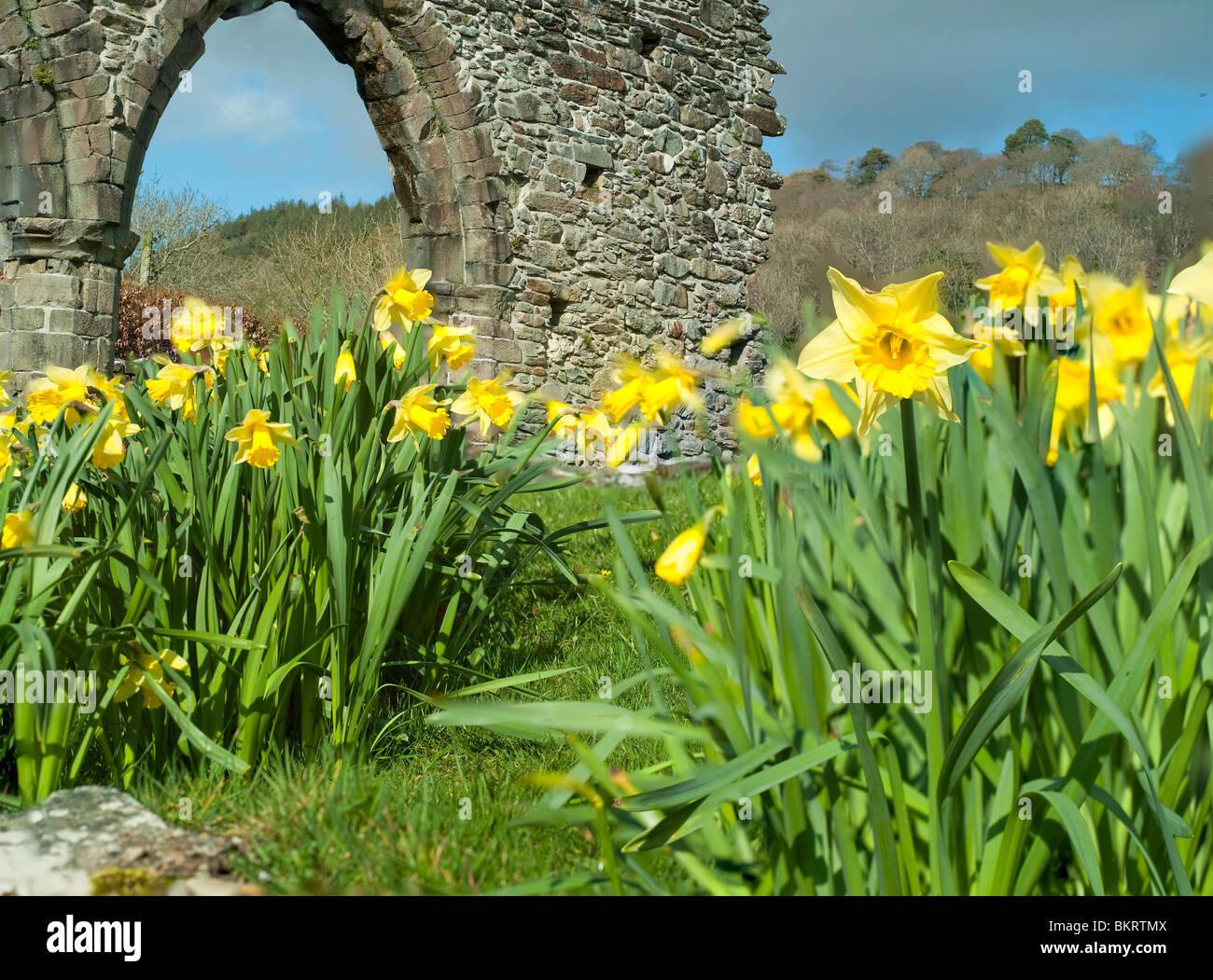 A row of daffodils growing amid the ruins of Cymer abbey  Dolgellau, Gwynedd North Wales in Snowdonia National park. - Stock Image