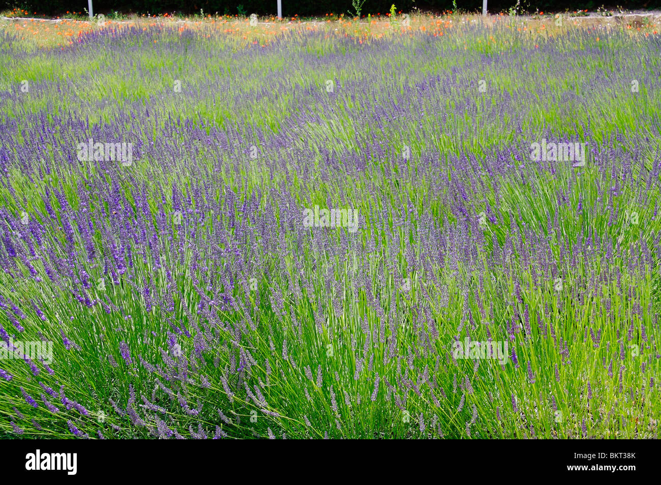 Lavender field with poppy's in background Provence, France. - Stock Image