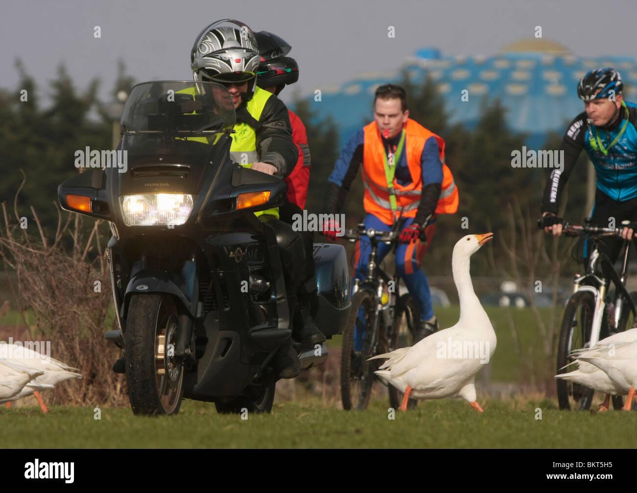 Motorrijder en mountainbikers verjagen witte stadsgans vanwege een passerende marathon; Motorbiker, mountainbikers Stock Photo