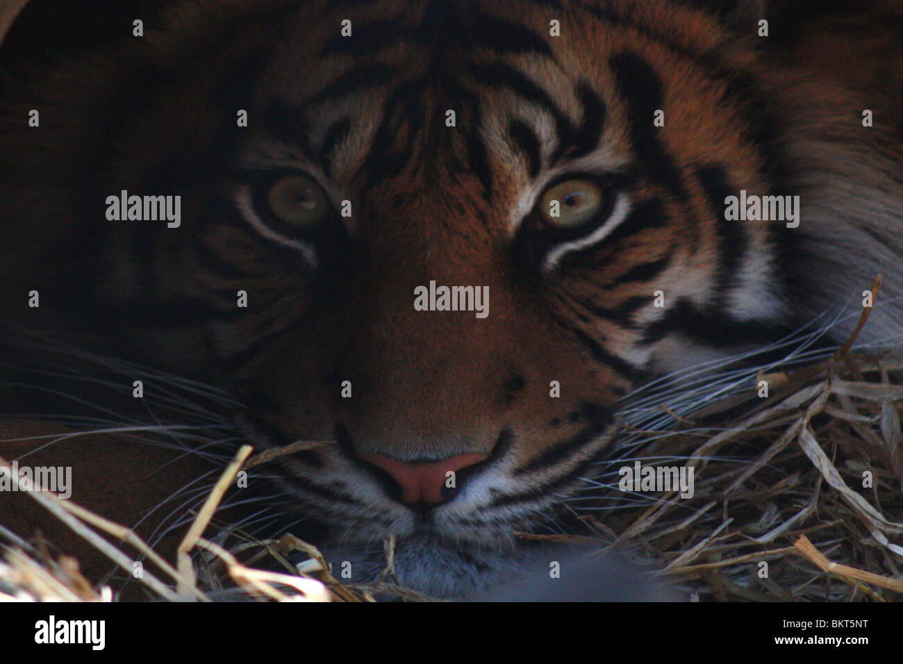 Amur tiger resting in a cave with eyes wide open aka Siberian tiger,tiger portrait - Stock Image