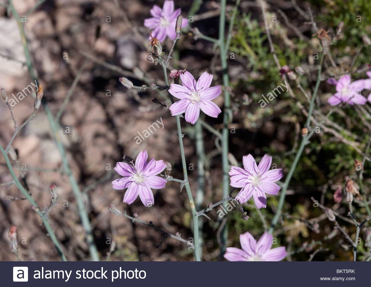 Desert Straw Stephanomeria pauciflora 'New Mexico' - Stock Image
