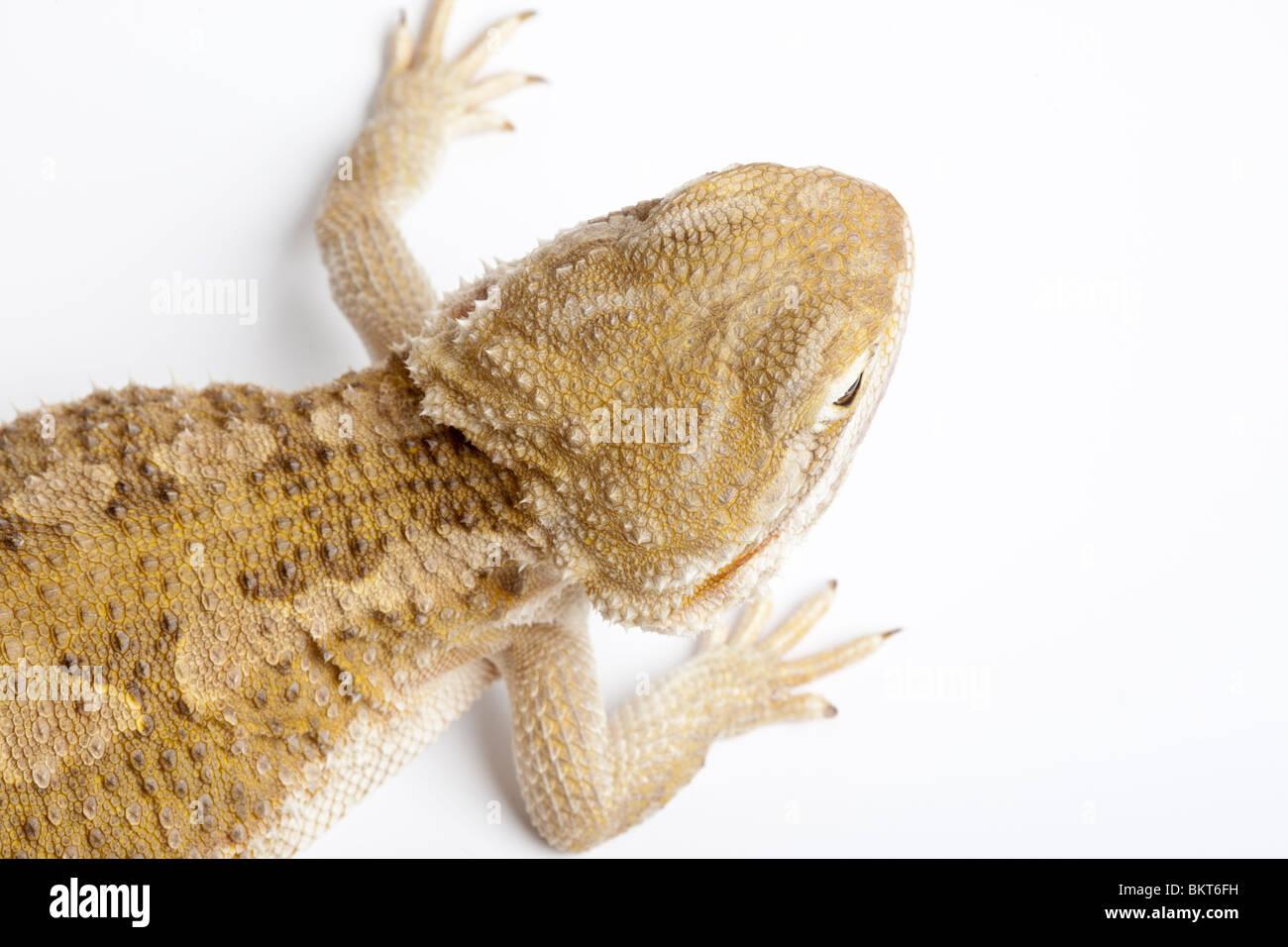 Rankin's dragon, Pogona henrylawsoni, - Stock Image
