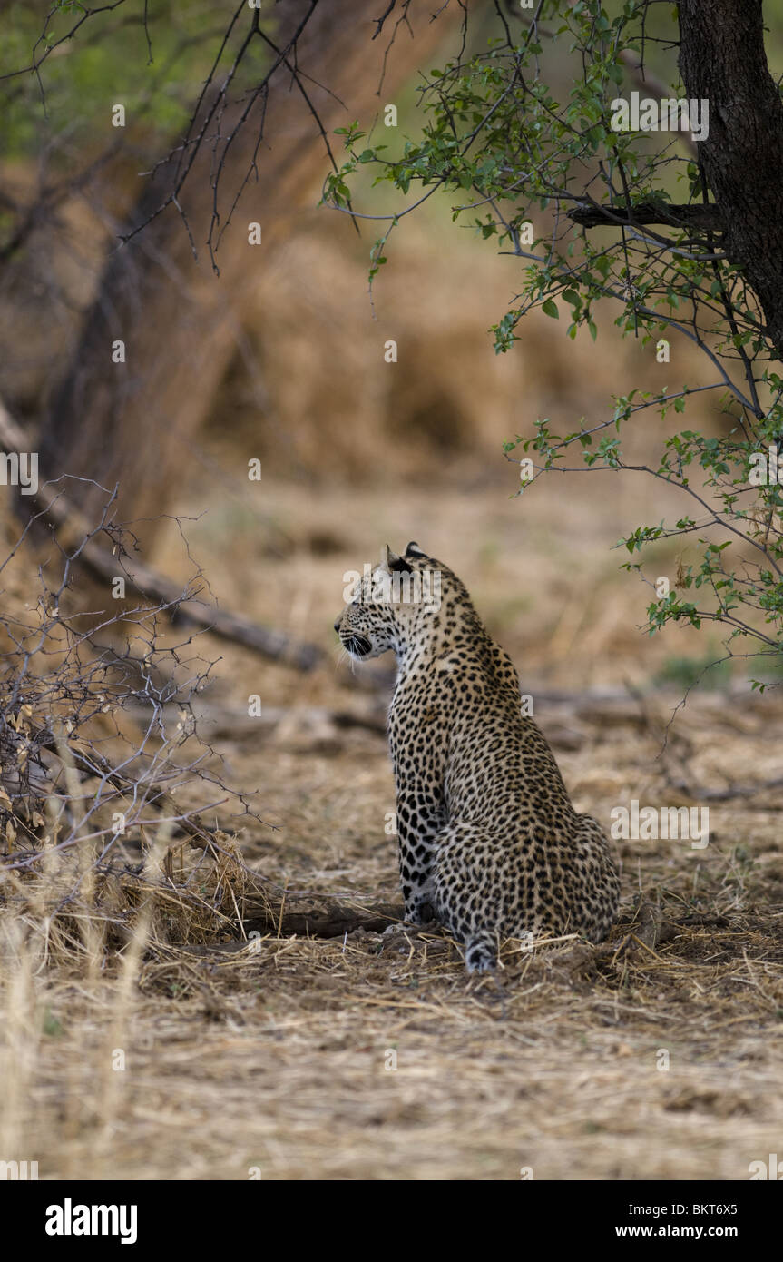 Young male leopard in grassland, namibia, Africa. Stock Photo