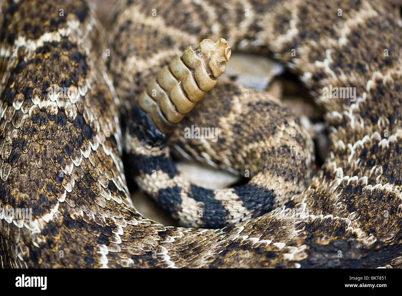 Rattle snake coil - the friendly end. - Stock Image