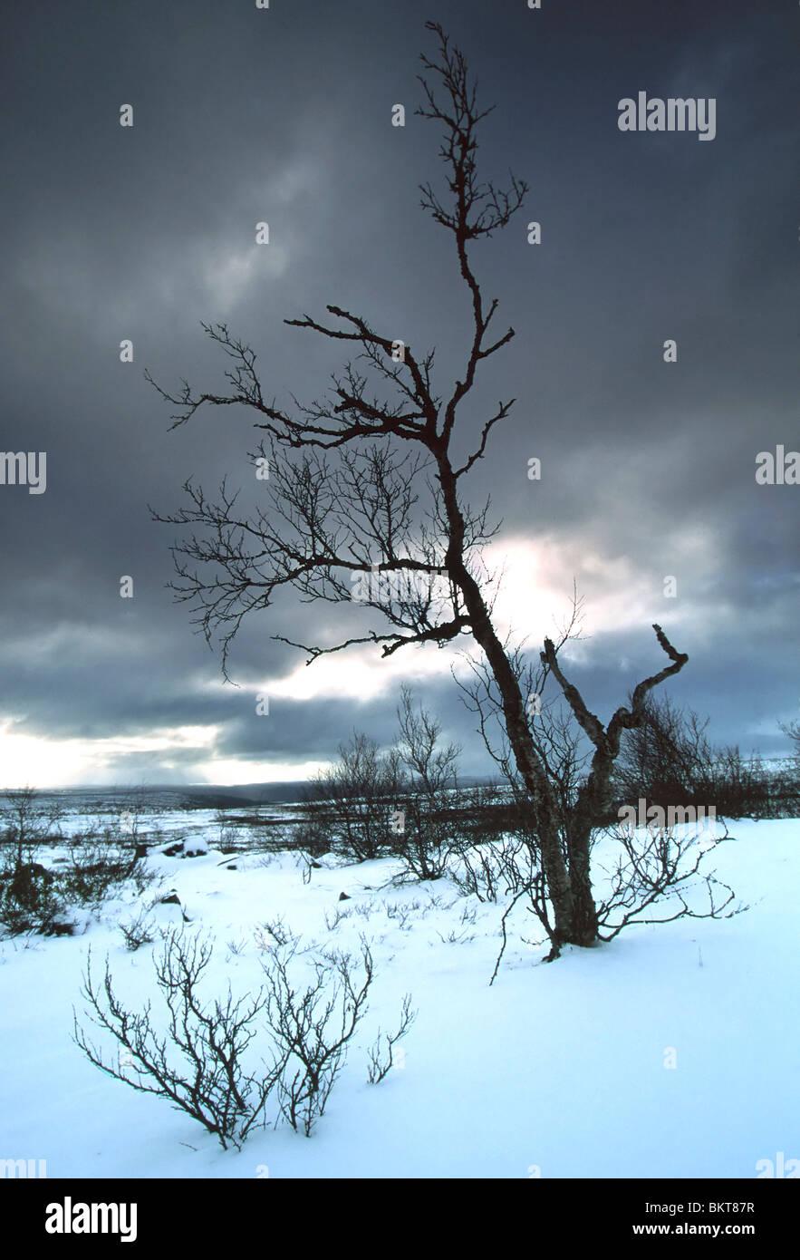 Boom in winterlandschap, Finland Tree in winter landscape, Finland - Stock Image