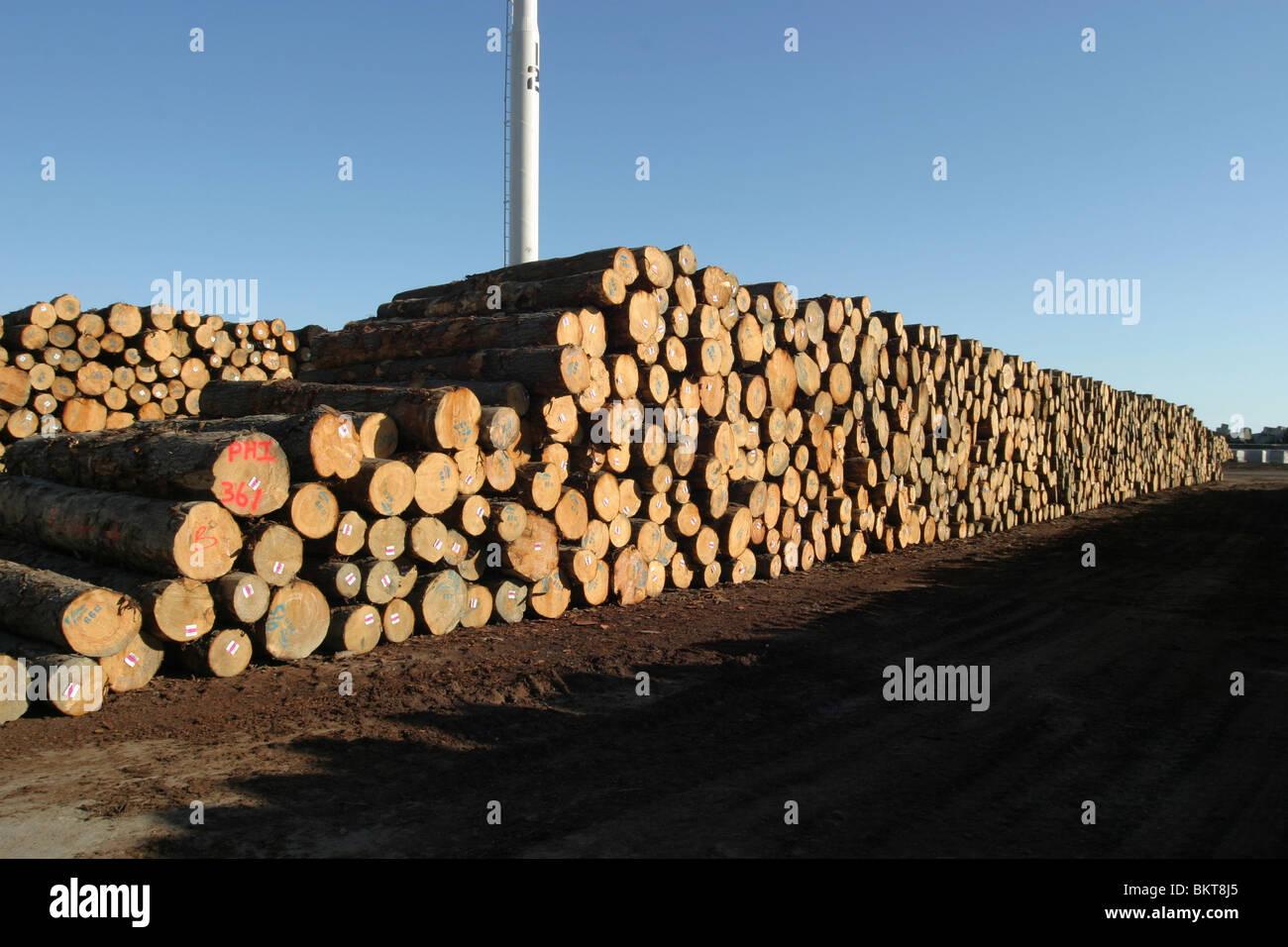 stack of pinus radiata log new zealand - Stock Image