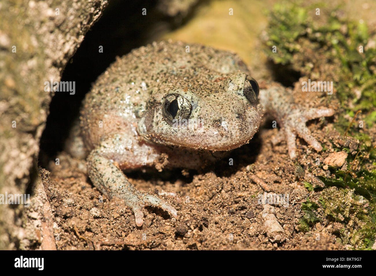 Photo of a common midwife toad in a hole under a tree - Stock Image