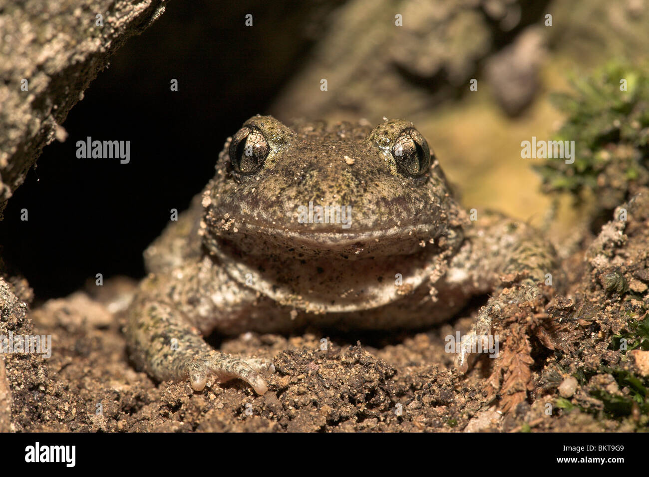 Frontal portrait of a common midwife toad in a hole under a tree - Stock Image