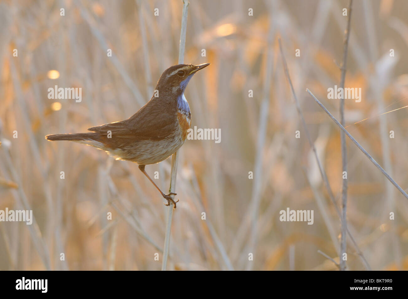 Male Bluethroat on dried stems during sunrise - Stock Image