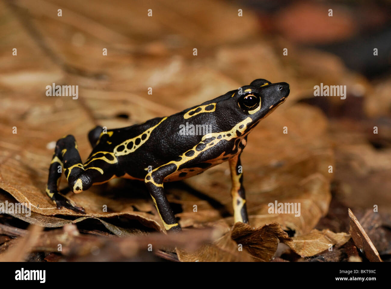 common harlequin toad op de bosbodem; common harlequin toad on the forestfloor - Stock Image