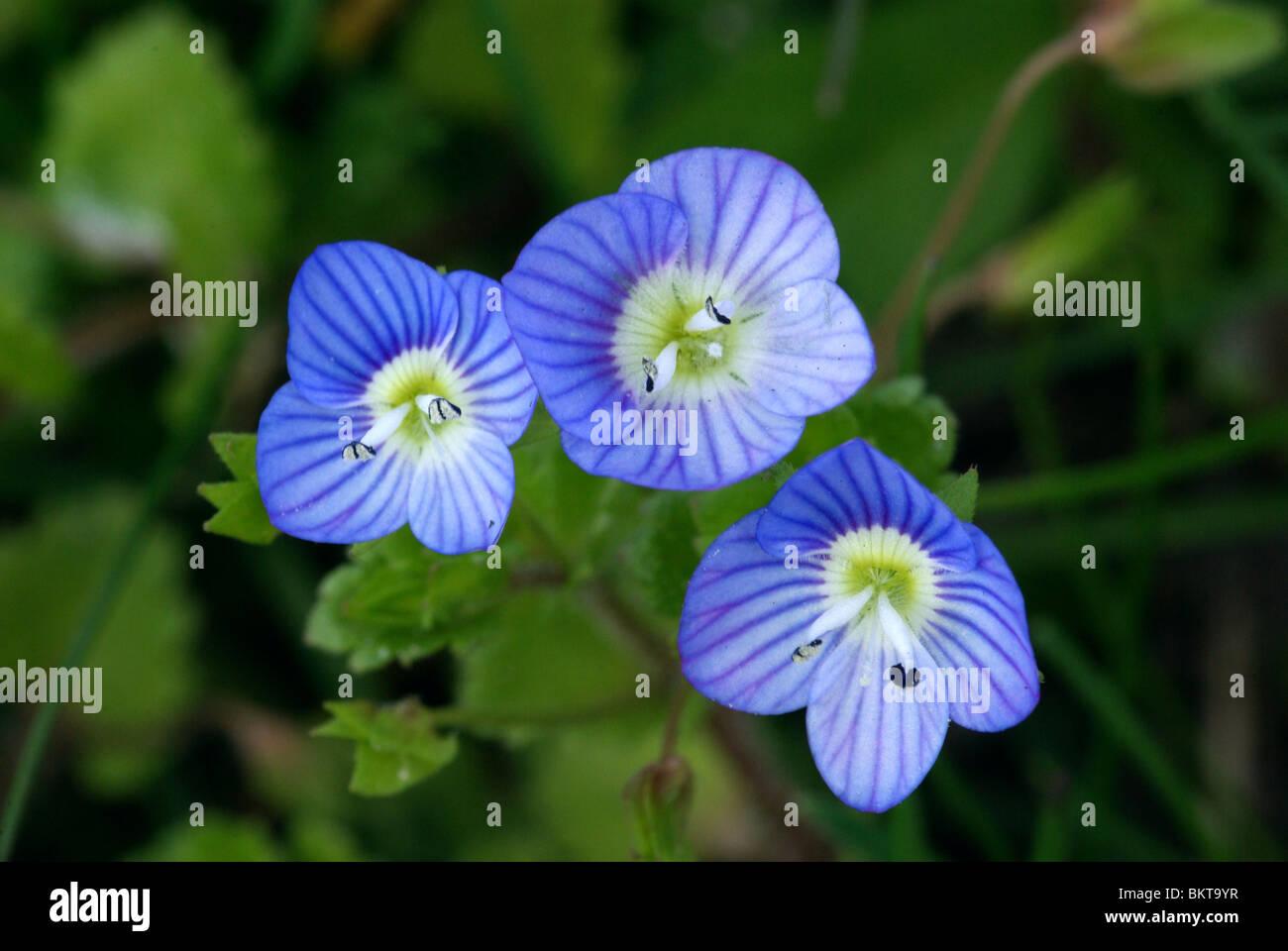 makro opnamen van hemelsblauwe bloempjes van grote ereprijs - Stock Image