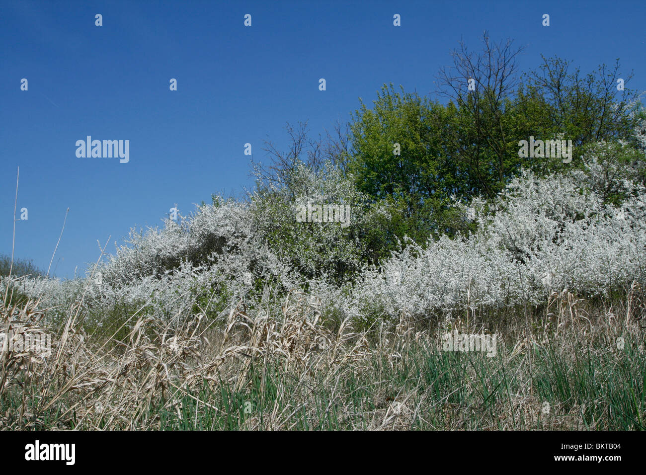 Gradually transition of blackthorn and common hawthorn to solitary common oaks - Stock Image