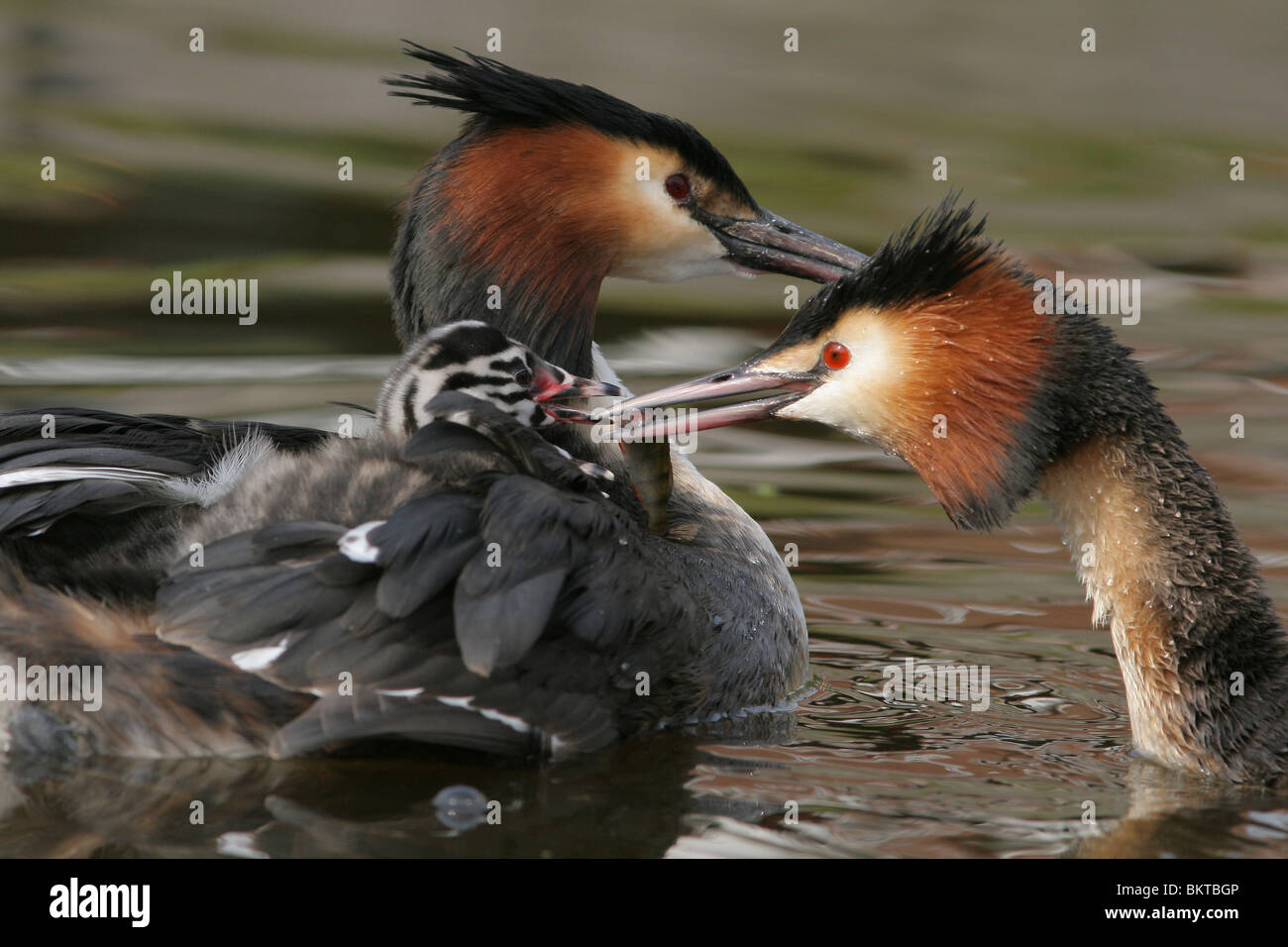 Futengezin zorgt voor jong; Pair of Great Crested Grebes takes care of young - Stock Image