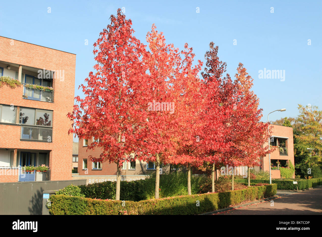 A Row Of American Sweetgum Trees In The Village Twello Stock Photo Alamy