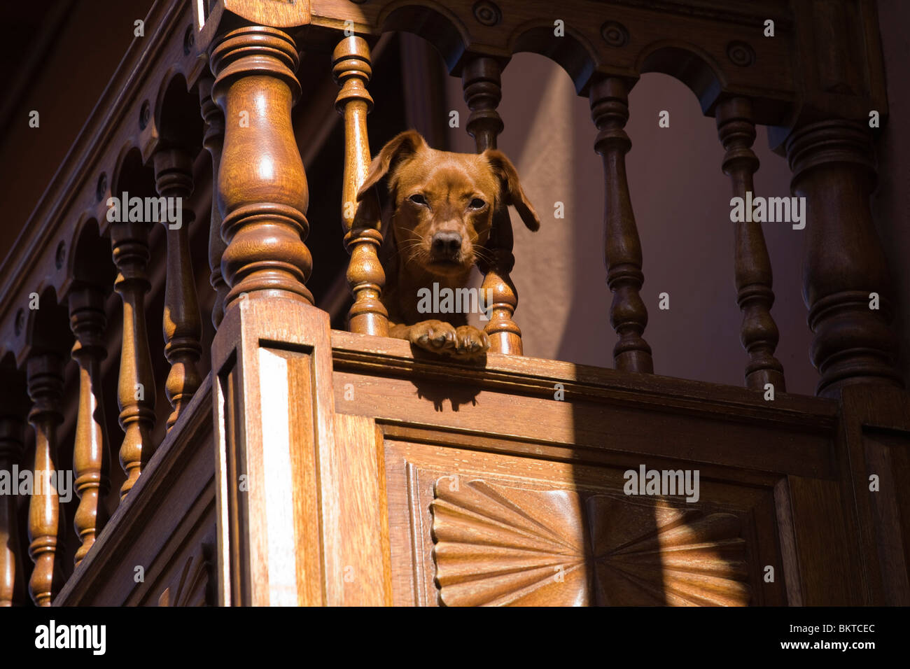 Interested dog looking down from a balcony - Stock Image