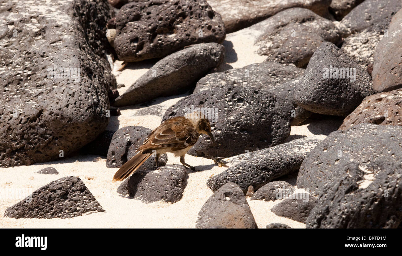 Galapagos Mocking Bird catching an insect on a rocky beach on Santa Fe in the Galapagos Islands - Stock Image