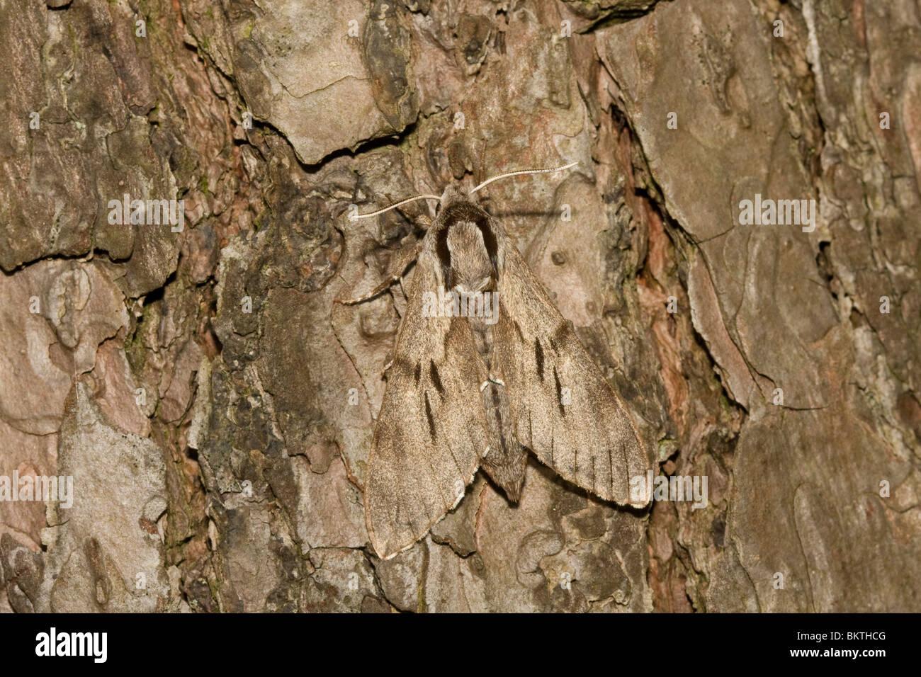Dennenpijlstaart; Pine Hawk-moth - Stock Image