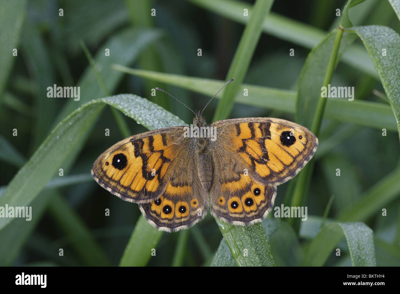 Argusvlinder opwarmend; Wall Brown warming up Stock Photo