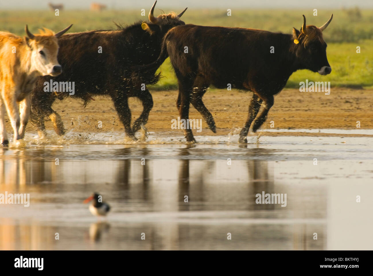 jonge heckrund stieren rennen door het water in de slikken van flakkee; young heck cattle bulls running through - Stock Image