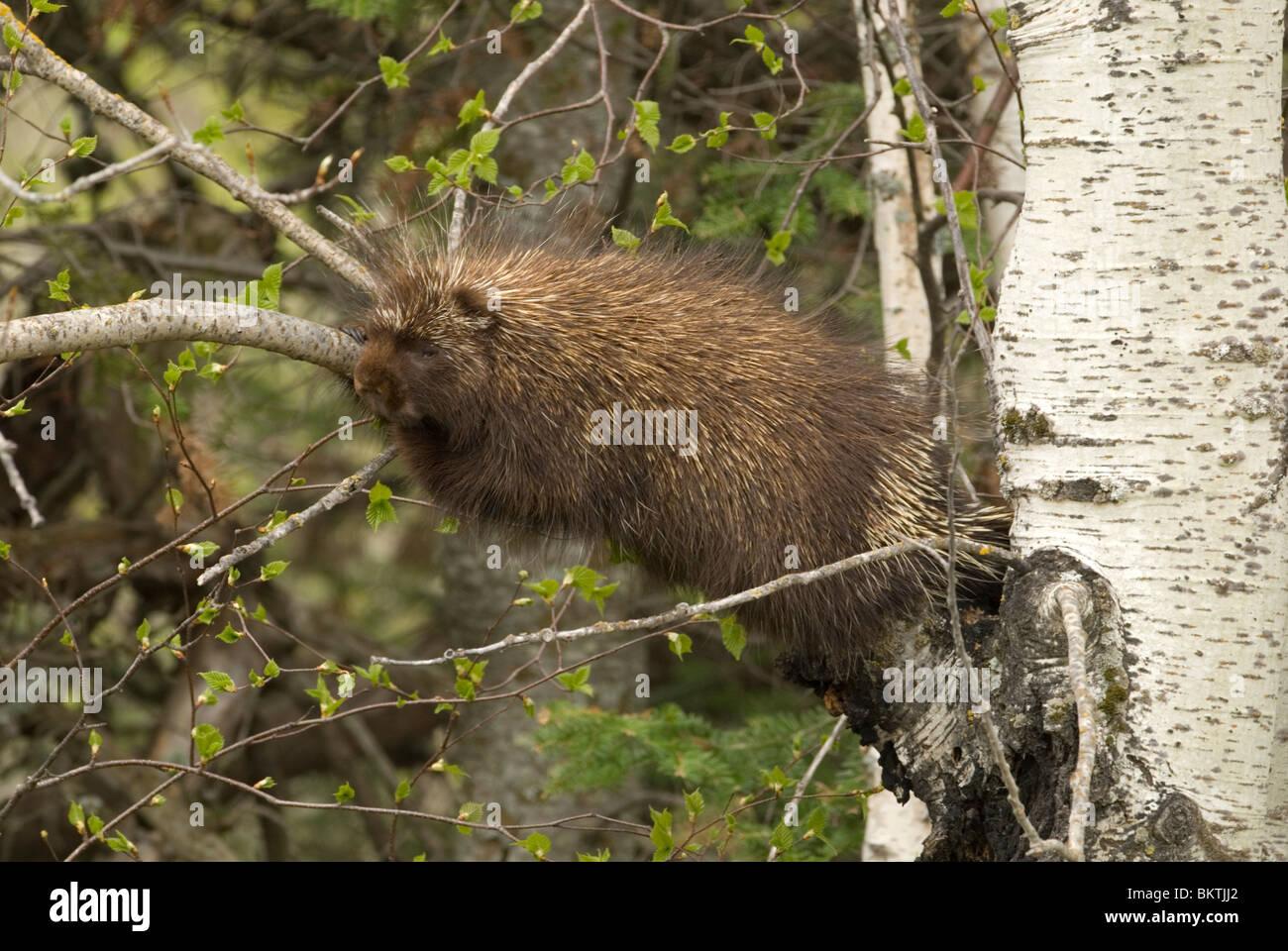 Een Noord-Amerikaans Stekelvarken liggend in een boom,A Porcupine laying in a tree. Stock Photo