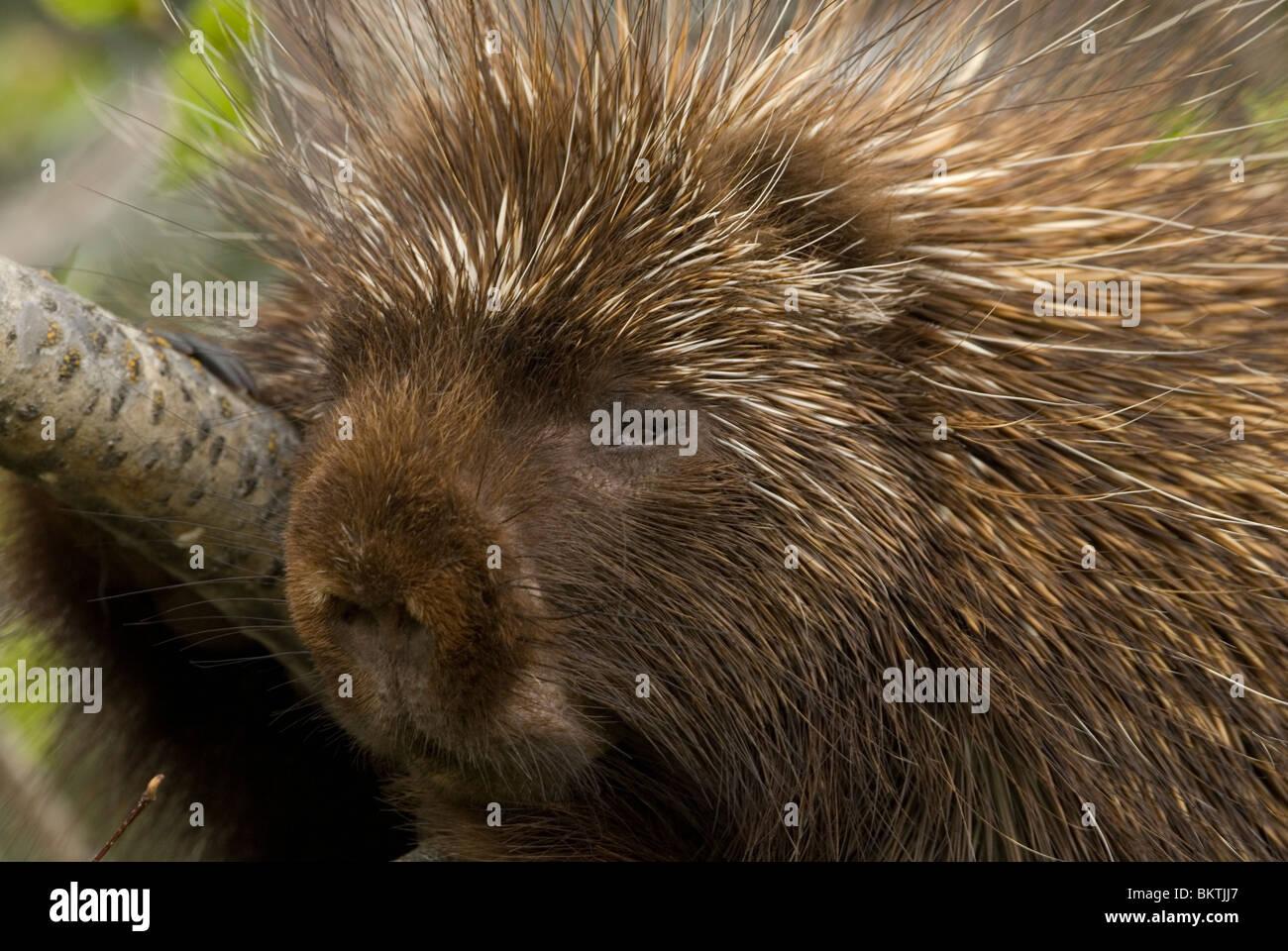 Een close-up van een Noord-Amerikaans Stekelvarken,A close-up of a Porcupine. Stock Photo
