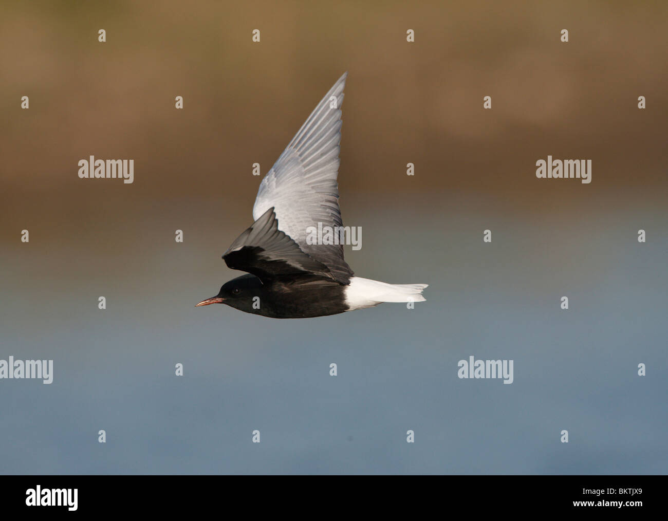Witvleugelstern vliegend en foeragerend boven water. White-winged Tern flying and foraging above water Stock Photo