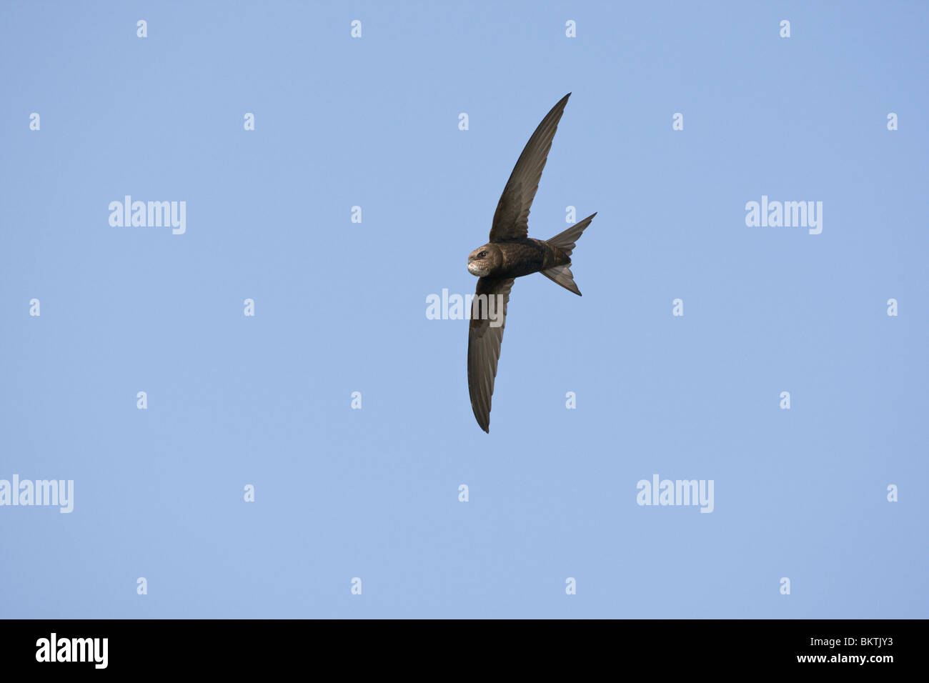 Gierzwaluw met volle krop vliegend en fouragerend. Common Swift with full goitre flying and foraging Stock Photo