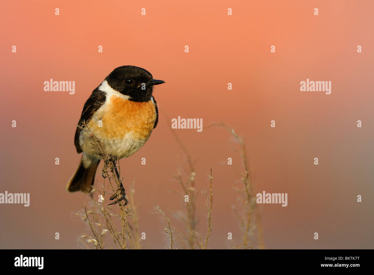 Male Stonechat perched on dried stems with a red background - Stock Image