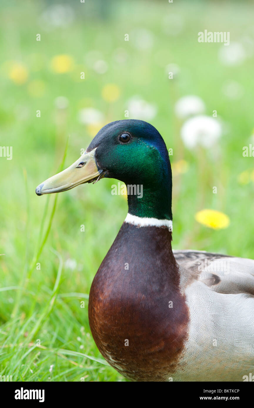 Anas platyrhynchos. Male mallard duck portrait - Stock Image