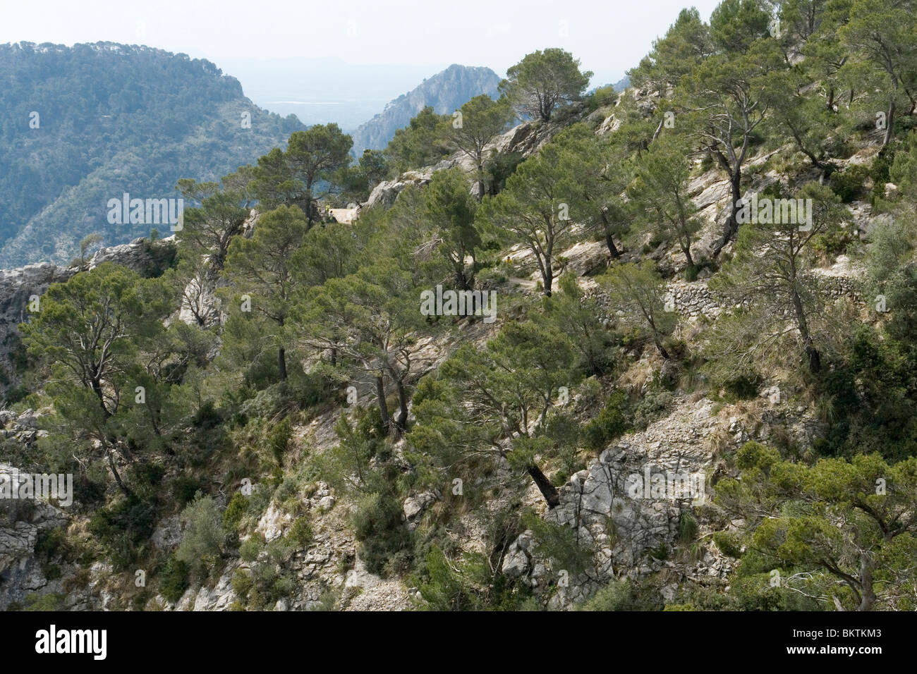 A spectacular forest of Carob trees on a hillside (Majorca - Spain). Spectaculaire forêt de caroubiers à - Stock Image