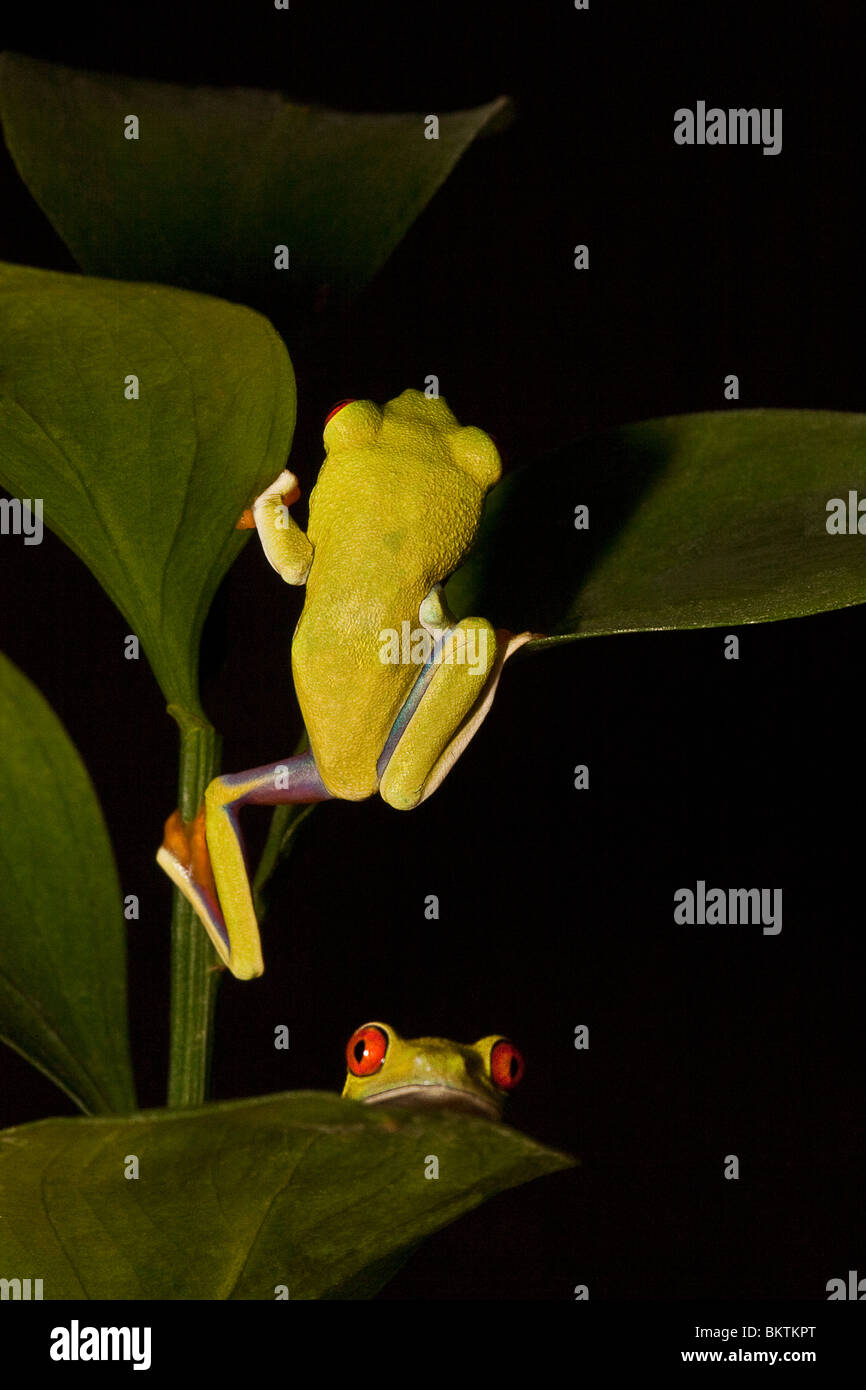 Two red-eyed tree frogs Stock Photo