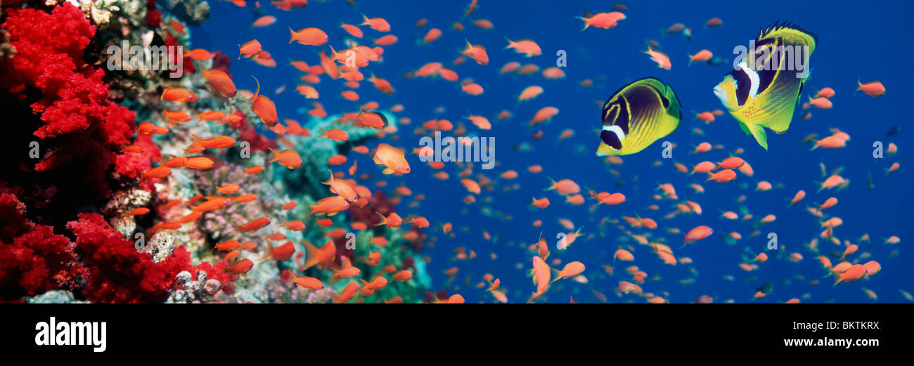 Red Sea raccoon butterflyfish (Chaetodon fasciatus) with Lyretail anthias and soft corals. Egypt, Red Sea. Stock Photo