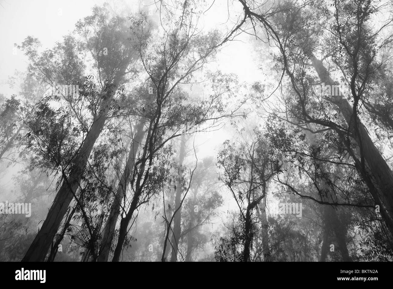 Eucalyptus Trees in the Mist on Crater Road on the Ascent to the Summit of Haleakala Volcano & National Park, - Stock Image
