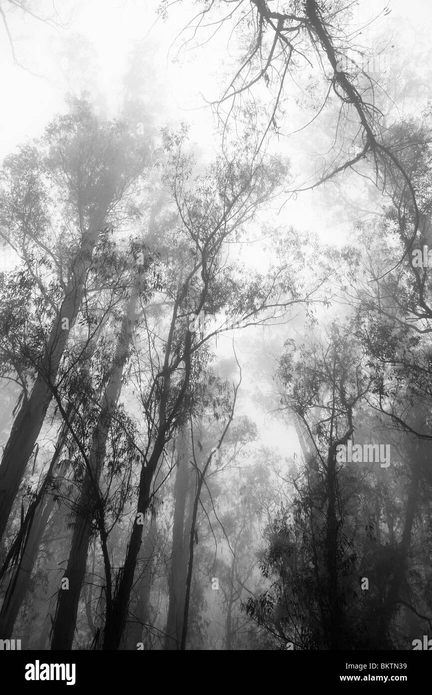 Eucalyptus Trees in the Mist on Crater Road on the Ascent to the Summit of Haleakala Volcano & National Park, Maui Stock Photo