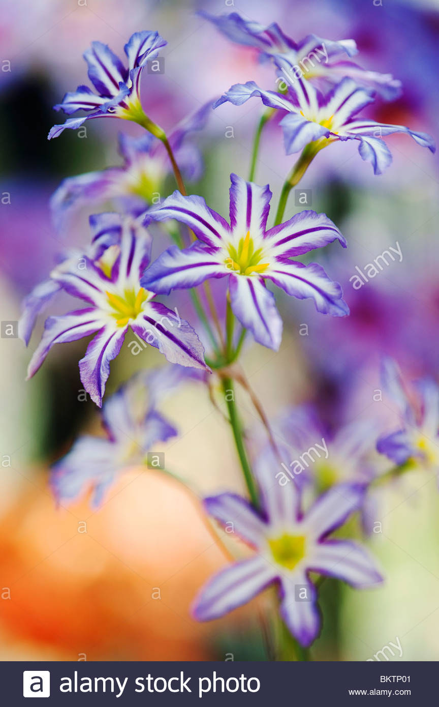 Leucocoryne Vittata, Andean Glory of the Sun Lily - Stock Image