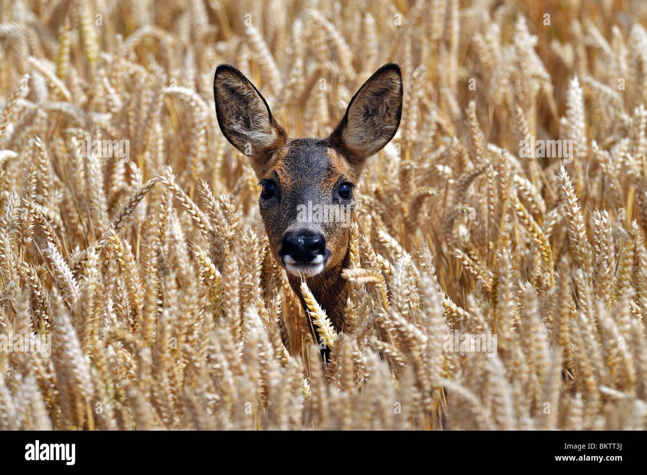 Roe Deer in autumn wheat field. - Stock Image