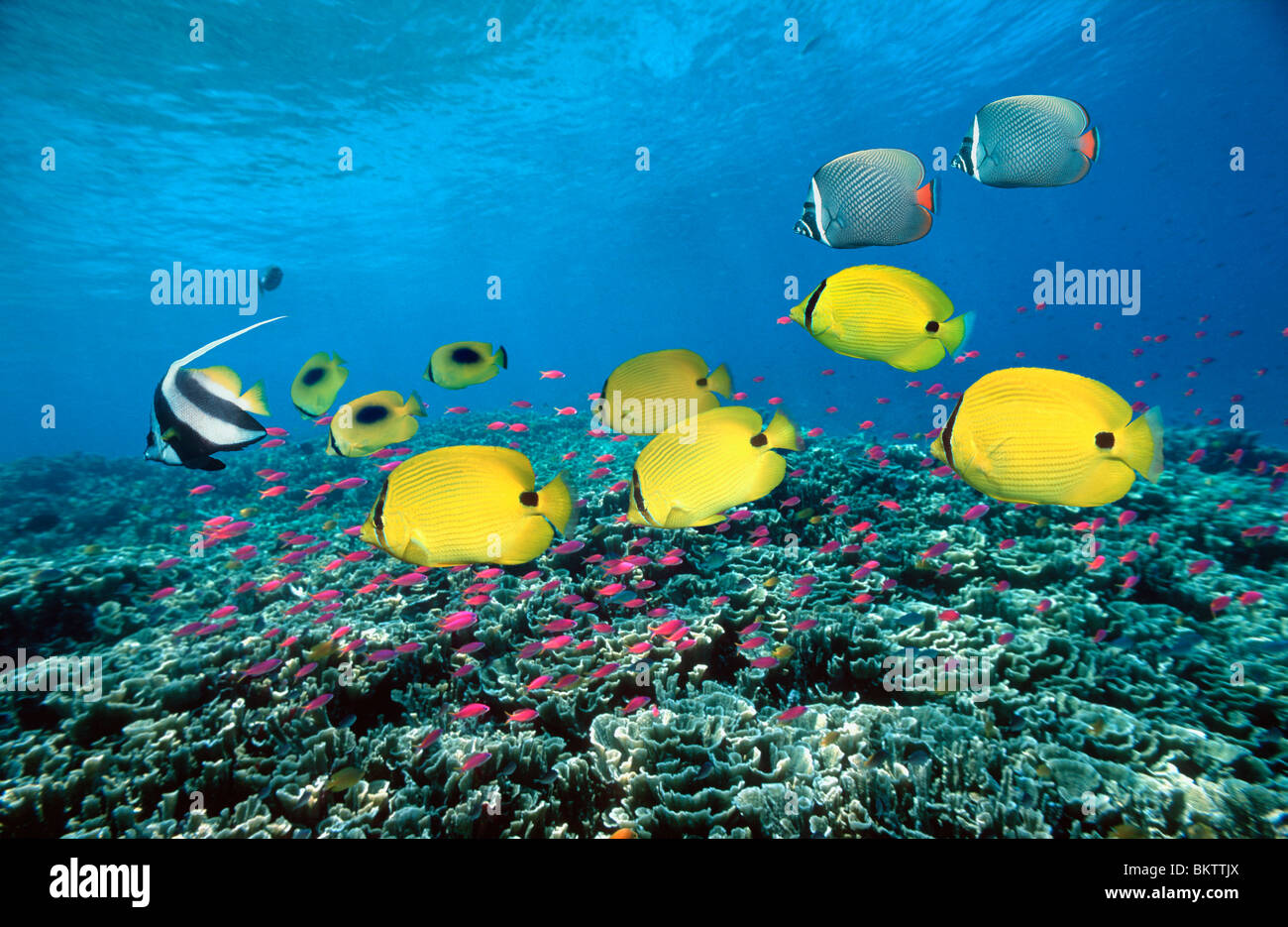 Yellow butterflyfish (Chaetodon andamanensis) swimming over coral reef with Purple queens (Pseudanthias tuka). Stock Photo