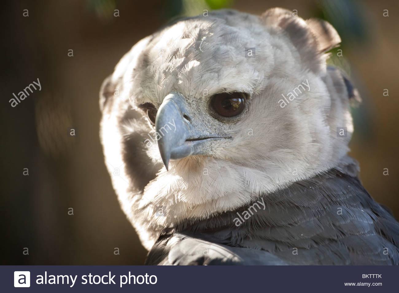 american harpy eagle jacksonville zoo florida stock photo