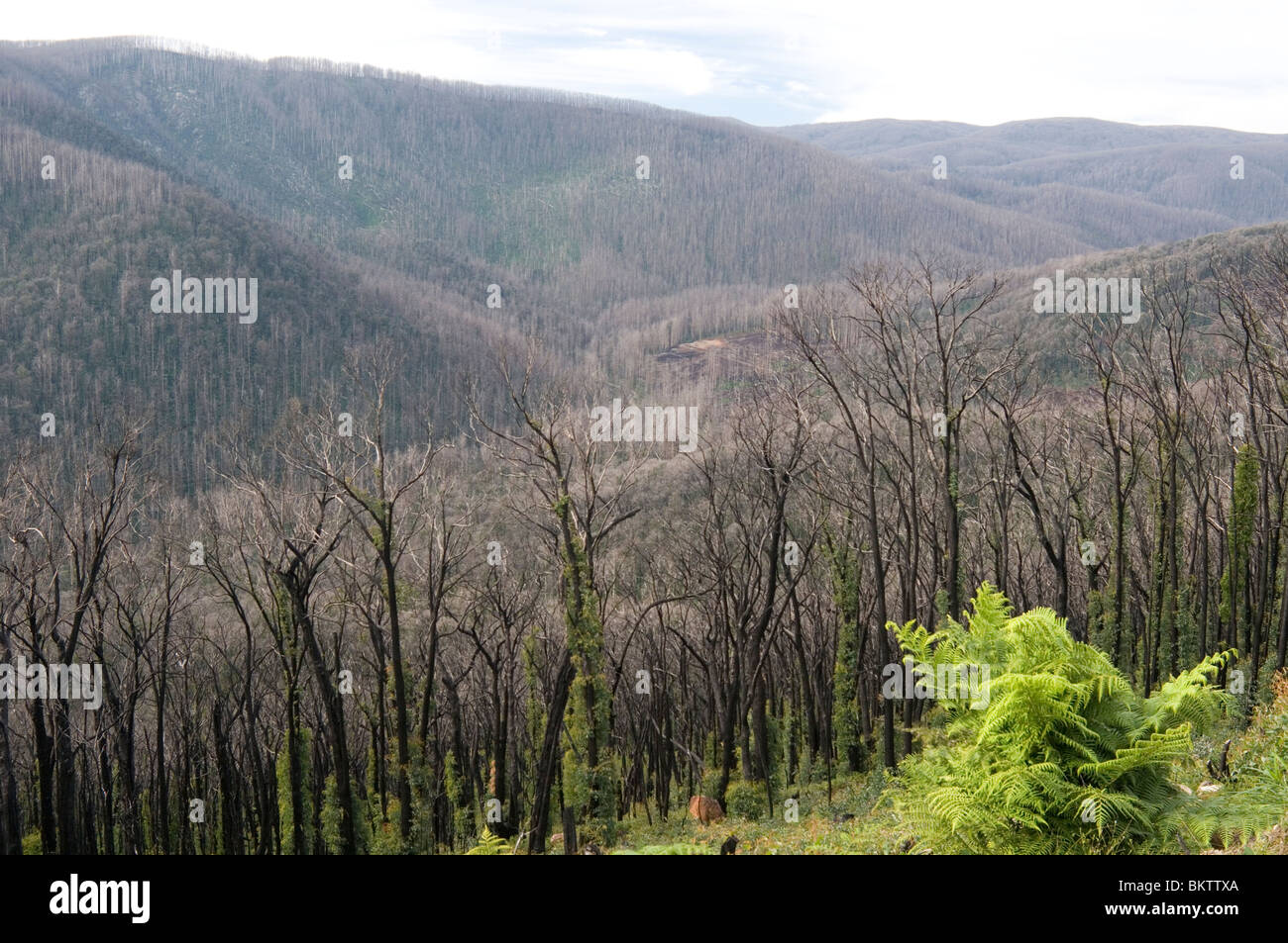 Regrowth after 15 months on hillsides ravaged by the Black Saturday (February 2009) bushfires at Marysville, Victoria - Stock Image