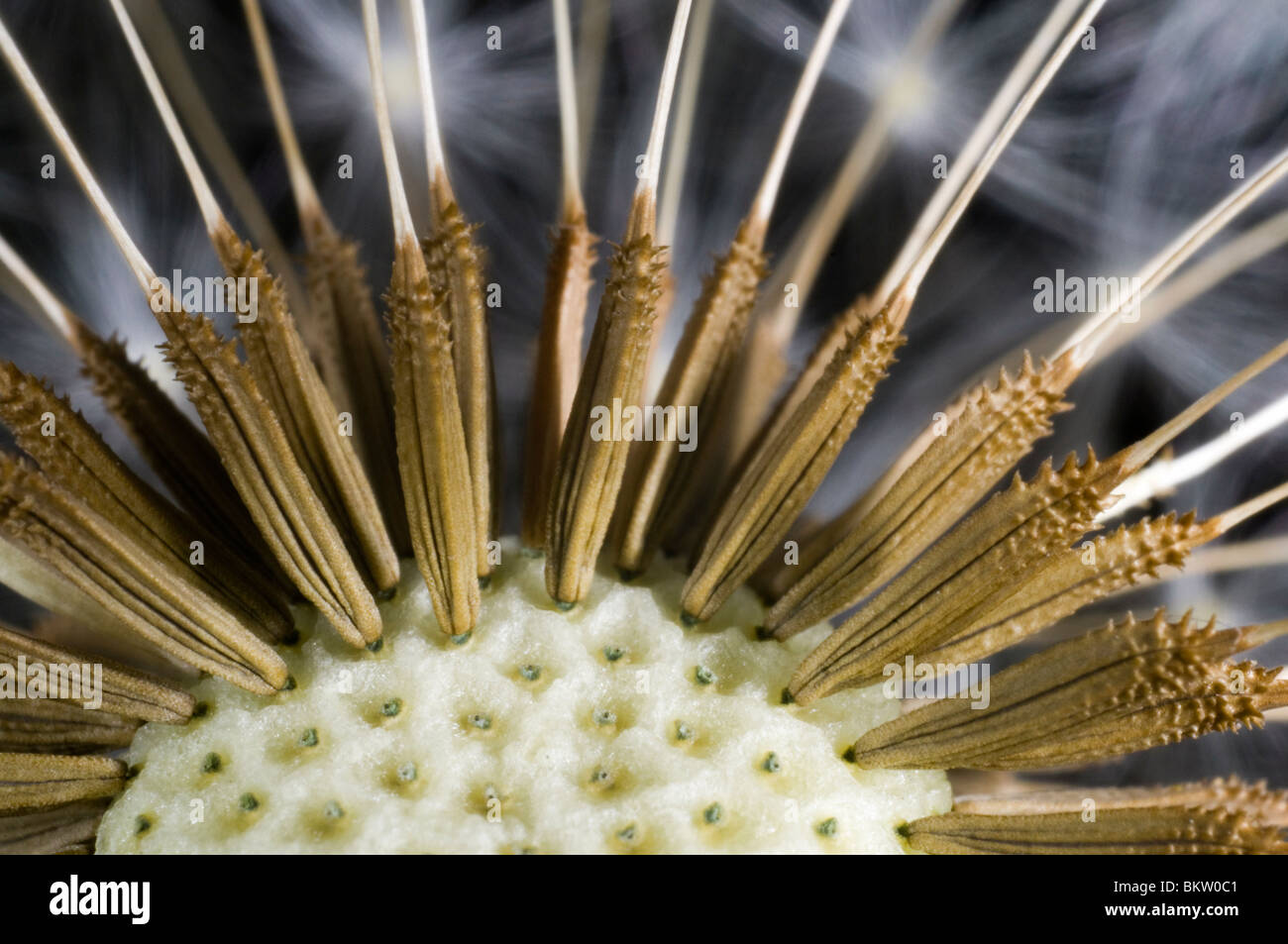 Dandelion clock, close up, showing how the seeds connect to the seed head. - Stock Image