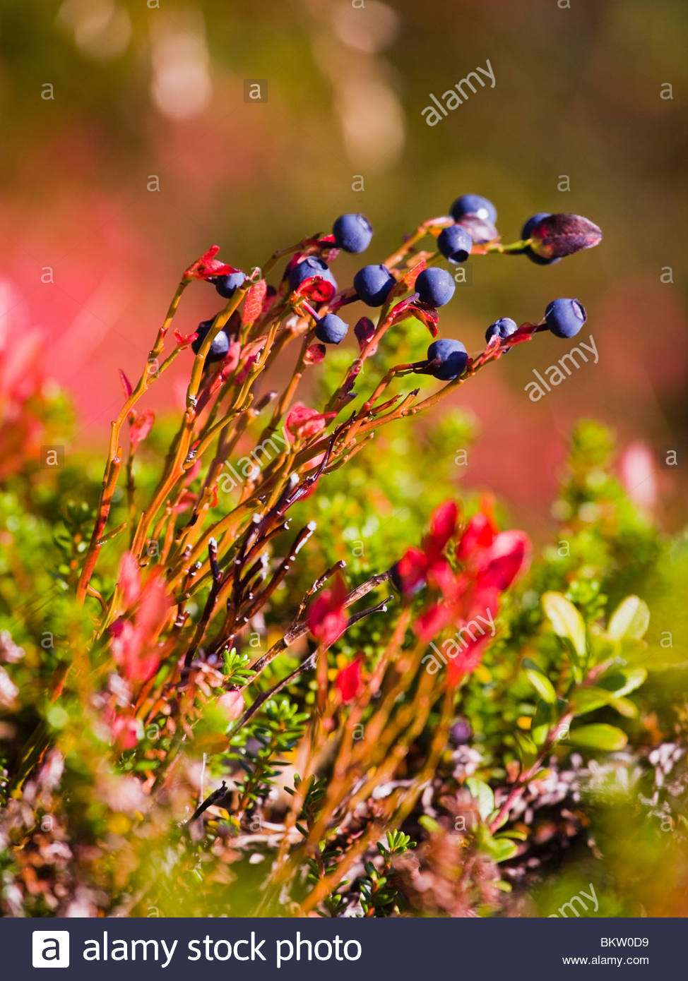 Blue berries on the ground - Stock Image