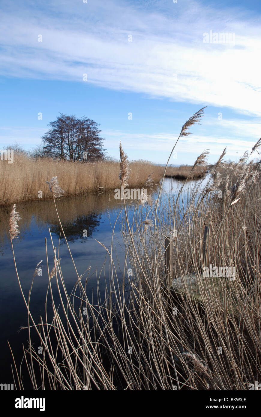 Reed by waterline - Stock Image