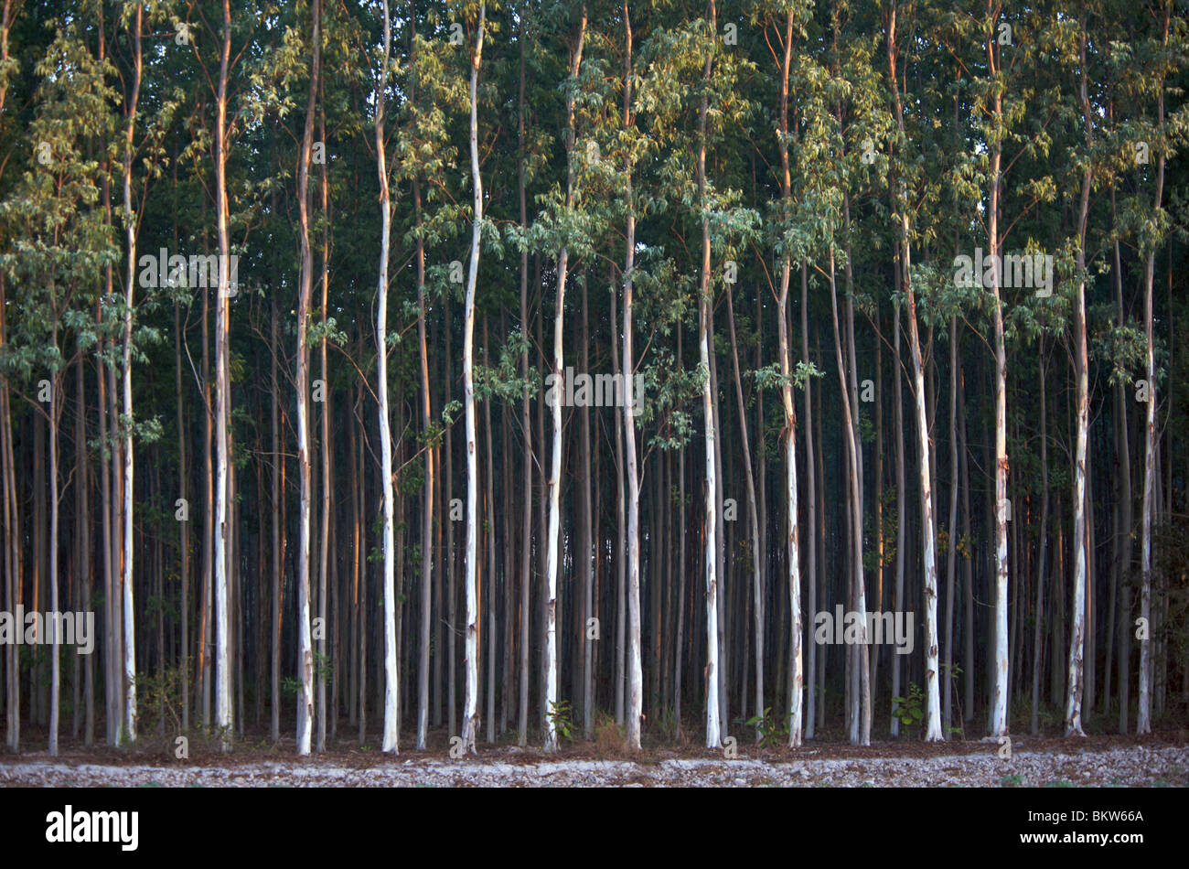 Stands of Eucalyptus trees being grown for paper pulp in Thailand. - Stock Image